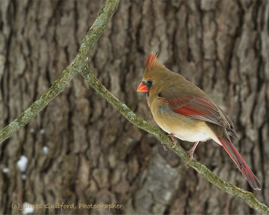 Photo: Female Northern Cardinal (Cardinalis cardinalis). Photo by James Guilford