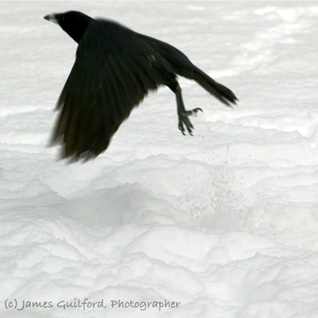 Photo: A crow takes flight from a field of snow. Photo by James Guilford.