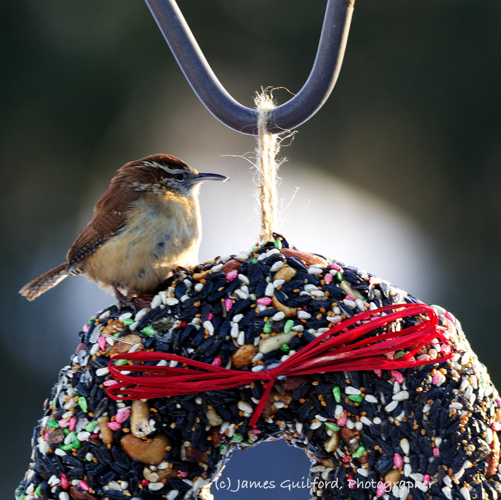 Photo: Wren-Wreath. A Carolina Wren perches on a holiday wreath made of bird seed. Photo by James Guilford.