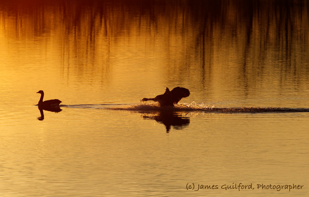 Photo: Move! A Canada Goose lands behind another on waters lit by sunset, urging it to move along. Photo by James Guilford.