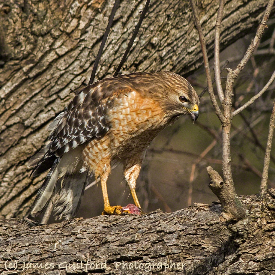 Photo: Red-Shouldered Hawk (Buteo lineatus) with frog dinner. Photo by James Guilford.