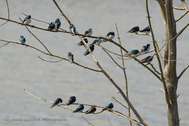 Photo: A Tree Full of Tree Swallows. Migrating Tree Swallows (Tachycineta bicolor) take a rest along the open waters of the Buckeye Woods Wetland Restoration Area, Medina County, Ohio. Photo by James Guilford.