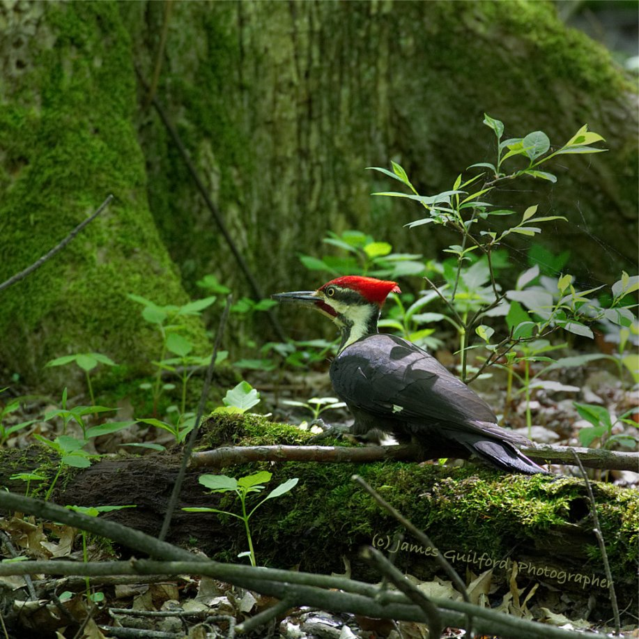Photo: A Pileated Woodpecker (Dryocopus pileatus) searches decaying logs for insects. Photo by James Guilford.
