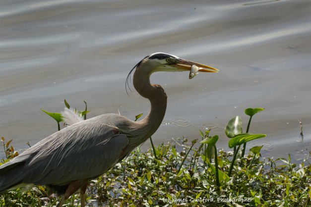 Photo: Lucky Bird, Poor Fish. A Great Blue Heron snags a small fish.