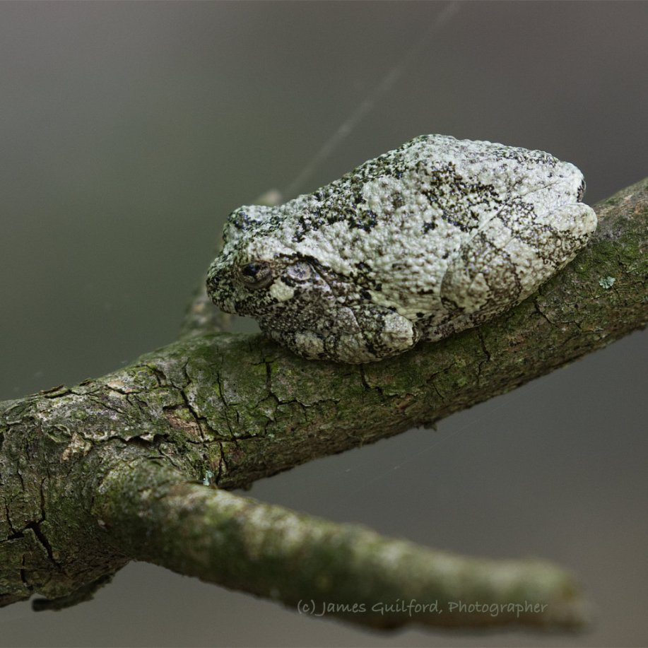 Photo: A Gray Treefrog (Hyla versicolor) rests, hiding in clear sight on a small tree branch. Photo by James Guilford.