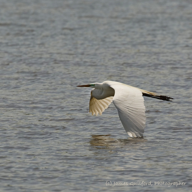 Photo: A Great Egret (Ardea alba) flies low over the water, a wingtip touching its surface. Photo by James Guilford.