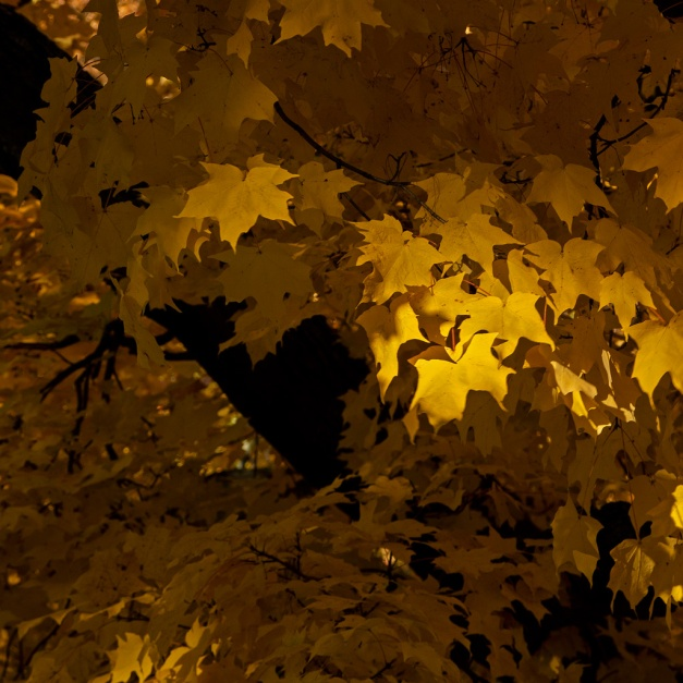 Photo: Golden Glow. Late-afternoon sun highlights a cluster of yellow tree leaves. Photo by James Guilford.