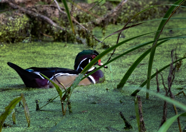 Photo: A male Wood Duck (Aix sponsa). Photo by James Guilford.