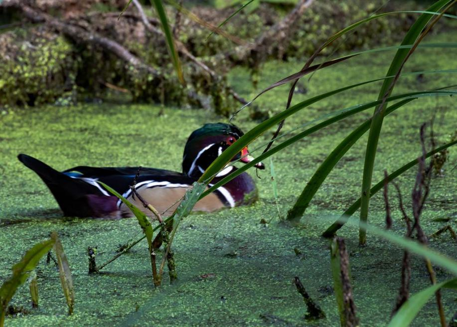 Photo: A Male Wood Duck Paddles Shyly in the Marsh. Photo by James Guilford.