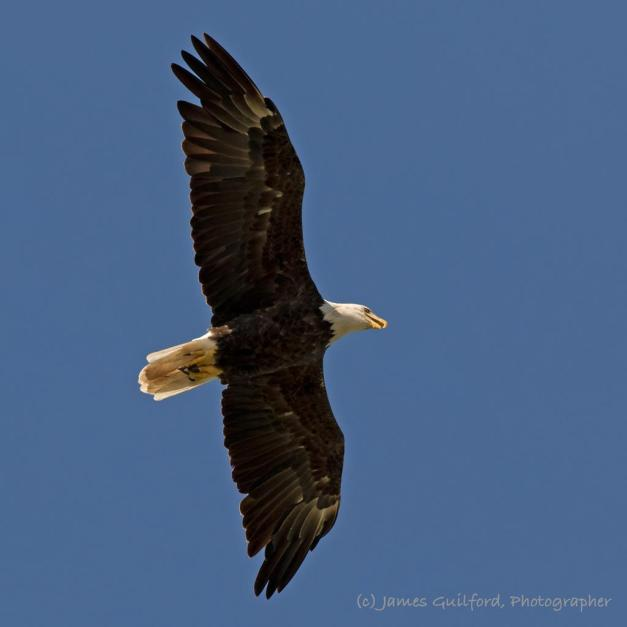 Photo: Young American Bald Eagle in Flight. Photo by James Guilford.