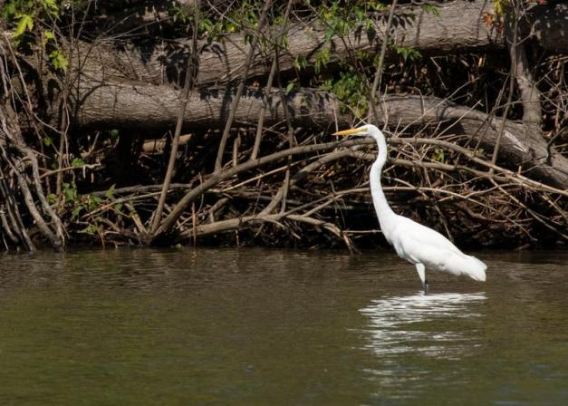 Photo: A Great Egret Wades, Looking to Catch Lunch. Photo by James Guilford.