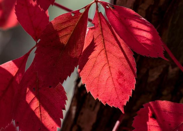 Photo: Sun Shines Through Red Leaves. Photo by James Guilford.