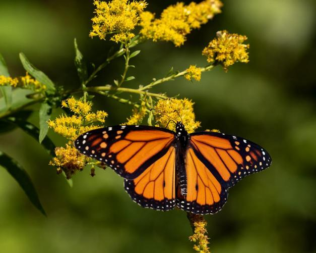 Photo: Monarch Butterfly Fueling up for a Long Flight by James Guilford