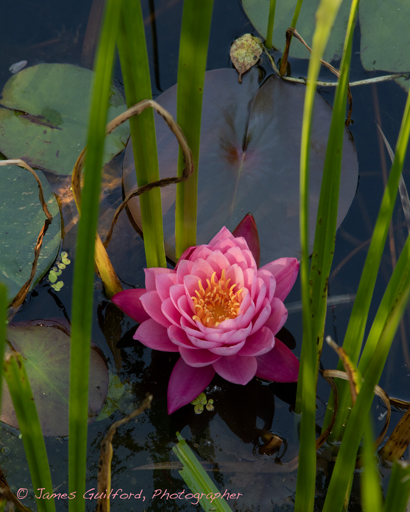 Photo: Softly-lit water lily. Photo by James Guilford.