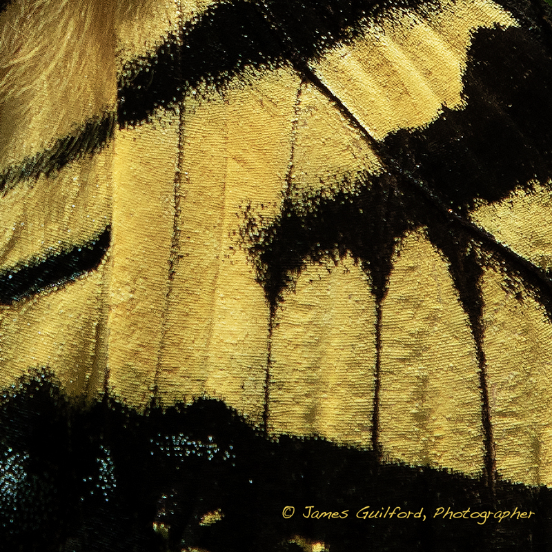 Photo: Wing detail of a Tiger Swallowtail butterfly. Photo by James Guilford.