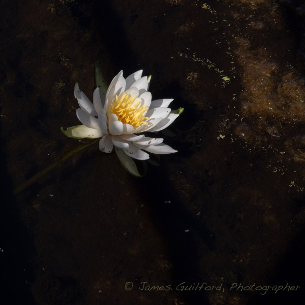 Photo: Late-Season water lily. Photo by James Guilford.