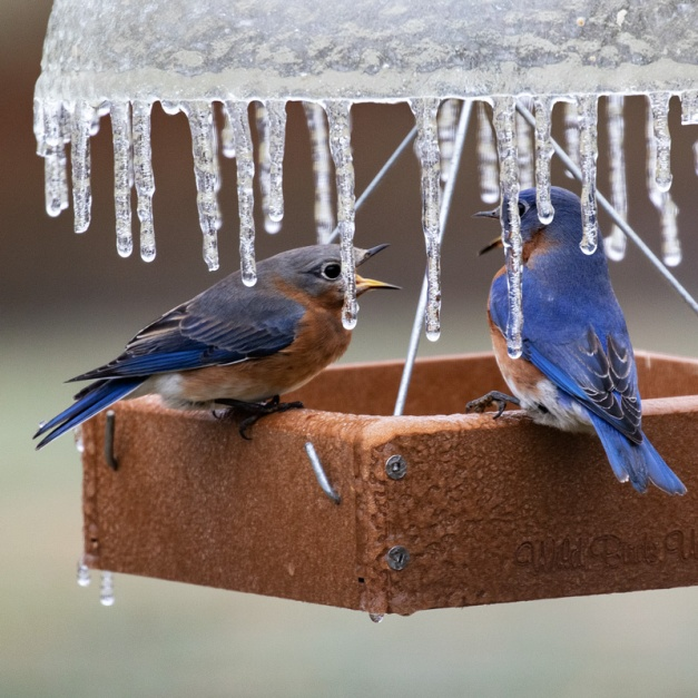 Eastern Bluebirds spat on an icy bird feeder. Photo by James Guilford.