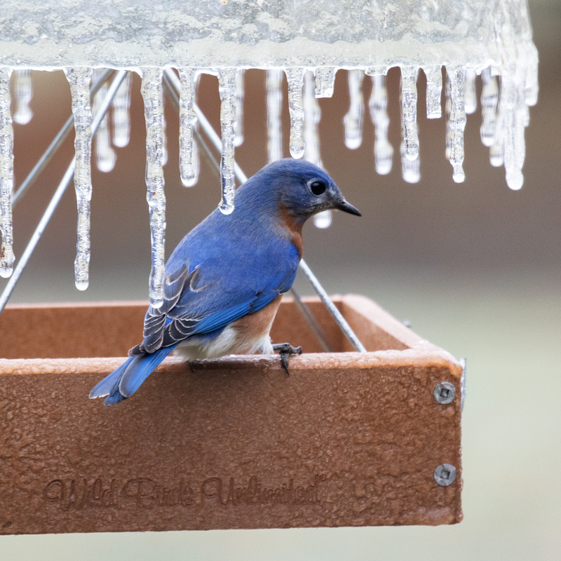 Eastern Bluebird on an icy feeder. Photo by James Guilford.
