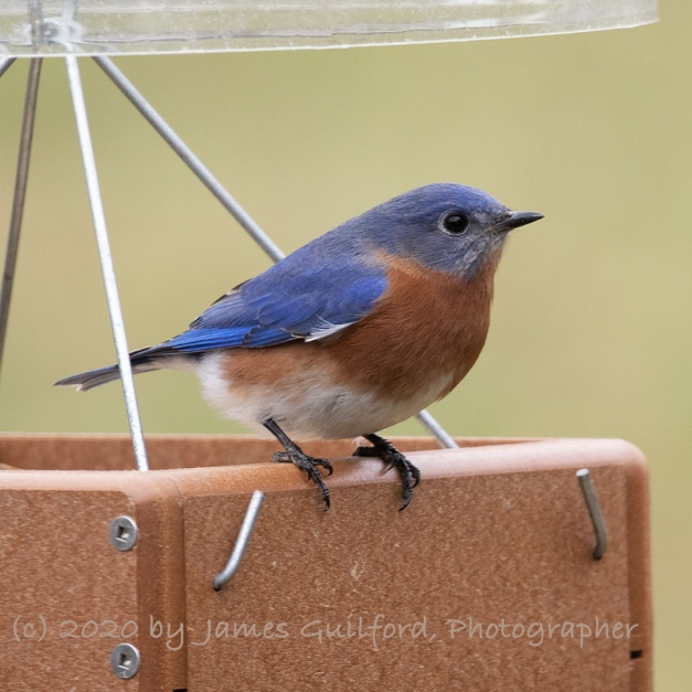 Eastern Bluebird poses for its picture. Photo by James Guilford.
