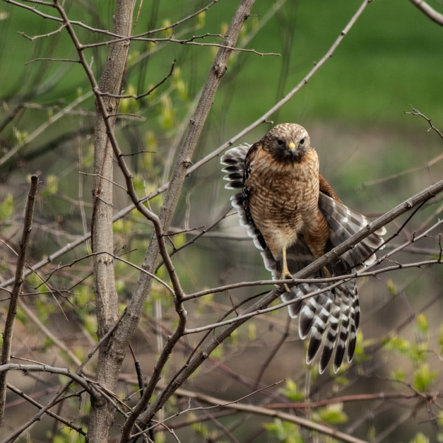 Photo: Red-Shouldered Hawk Stretching Wings by James Guilford