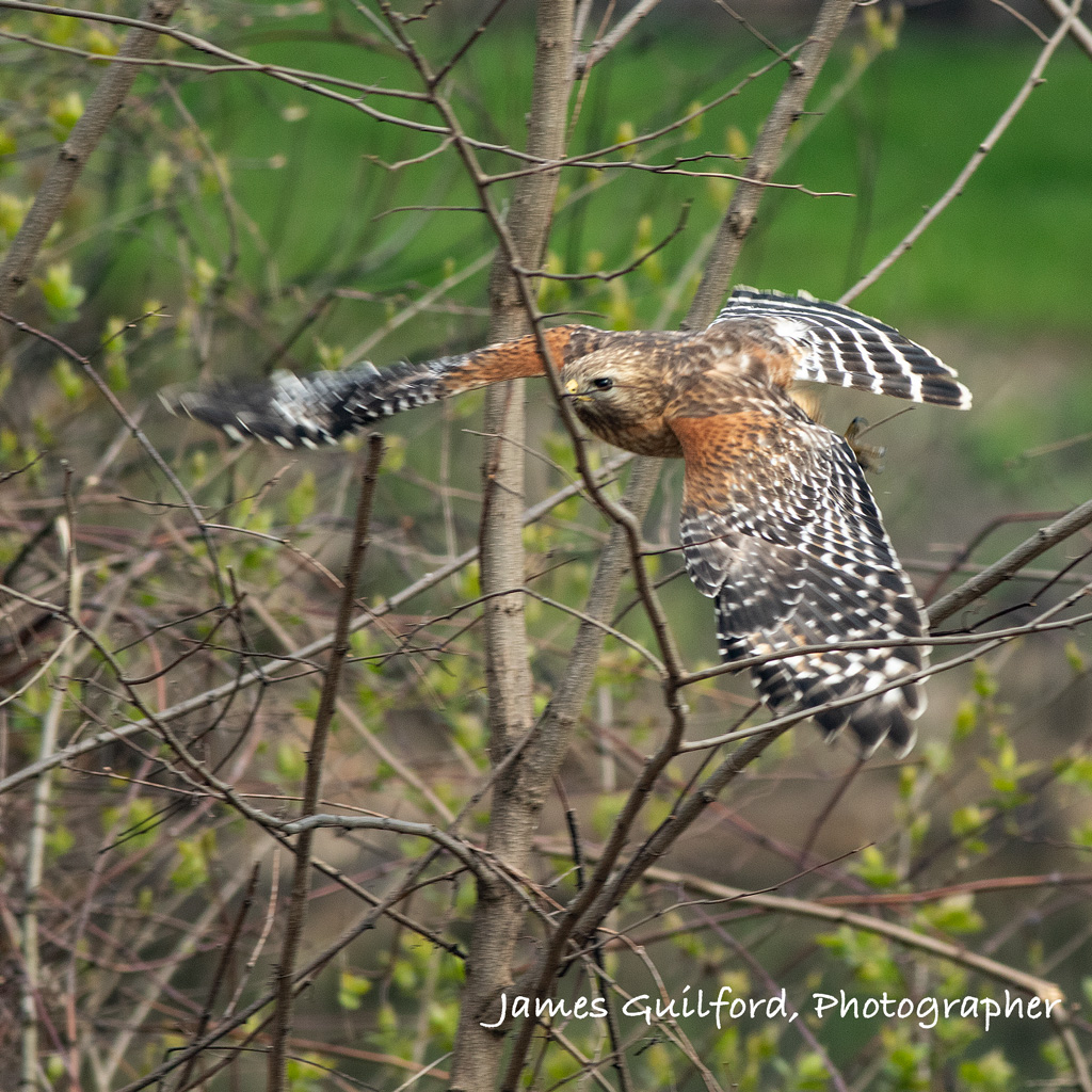 Red-Shouldered Hawk Takes Flight by James Guilford